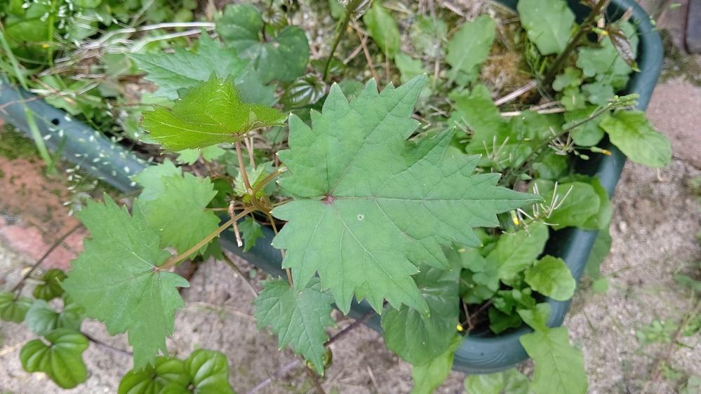 この大葉のような植物の名前はなんでしょうか? プランターに生えてきました