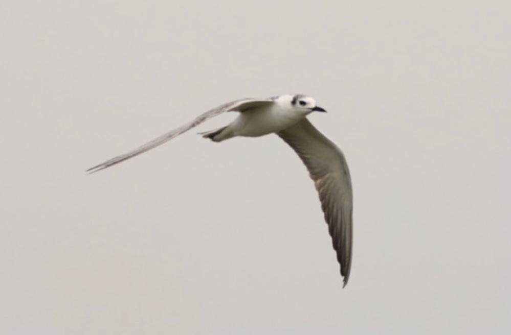 この鳥の名前を教えていただけないでしょうか。 大きなカメラを持った人たちがたくさんいたのですが、珍しいのでしょうか。 回答よろしくお願いいたします。