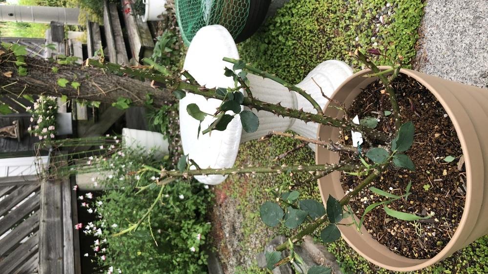 """プリマ・バレリーナというバラです。 鹿に蕾を食害されながらもきれいな花を咲かせてくれました。 その後、剪定して、つい気をゆるめた途端に鹿にほぼ""""坊主""""されてしまいました。 かろうじて新芽が少し残..."""