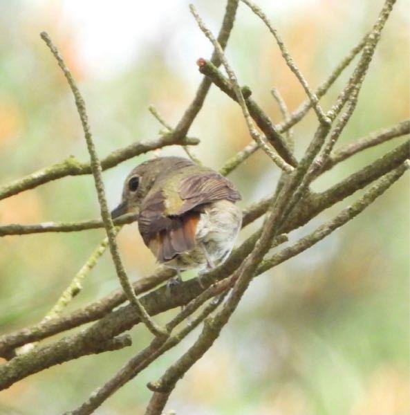 この野鳥はなんだと思いますか? 顔の感じコサメビタキかなと思ったのですが羽の色味がどうも 後姿しか無いのですみません
