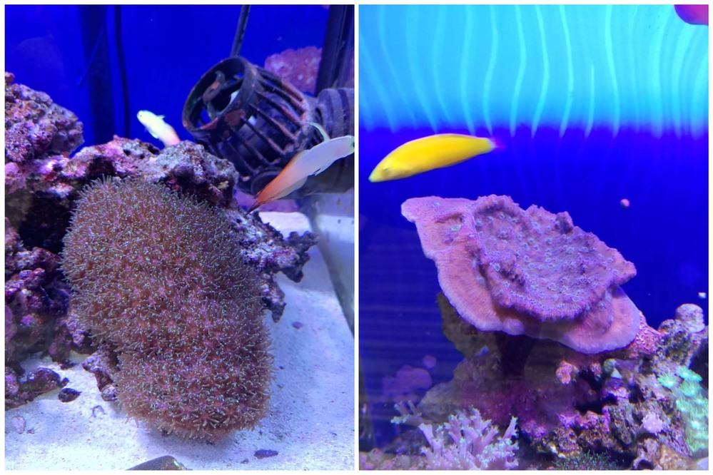 海水魚とソフトコーラル中心にサンゴ飼育をしているのですが、ライブロックから色々なサンゴが出てきて育つのも楽しみにしています。 写真の2つはその中でもかなり順調に育っているのですが、それぞれどのような種類の仲間のサンゴなのかご教示いただけませんか? ちなみに右側の紫のは放っておいたら、一時期直径30センチぐらいになってしまったため、折って小さくしました(それでもすでに10センチを超えてきました…)。
