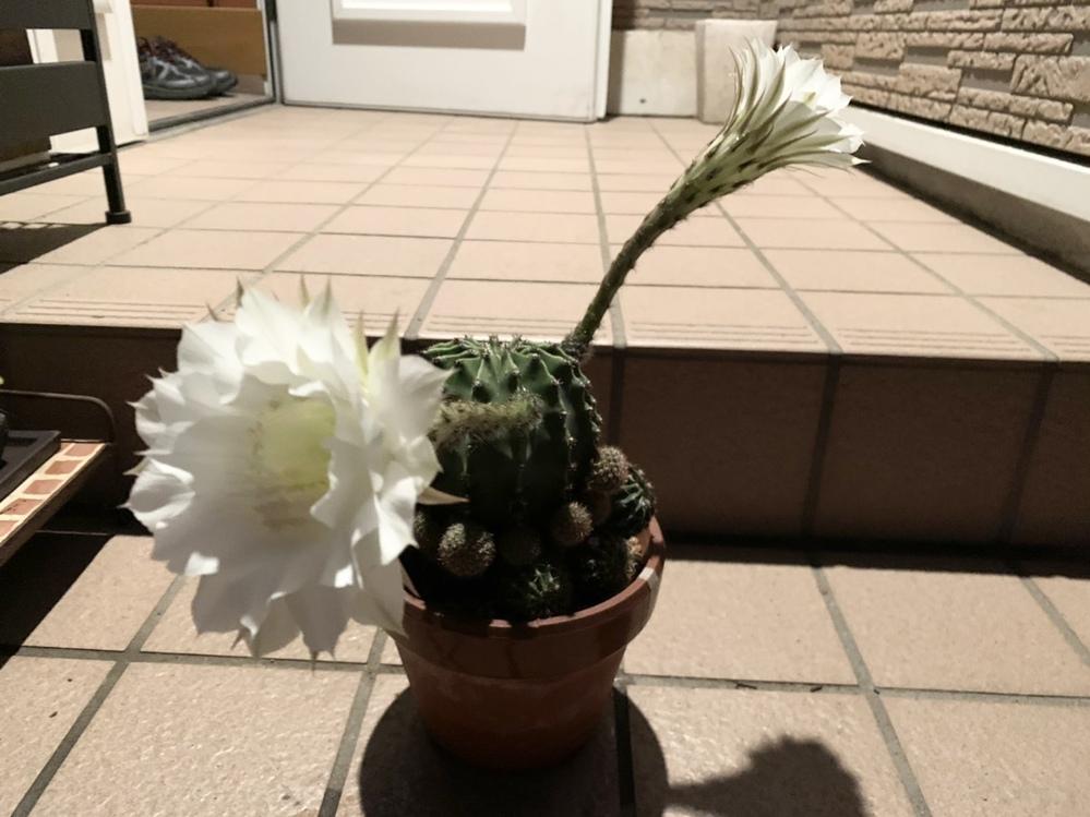 うちの実家でサボテンの花が咲いたのですが、このサボテンはなんていう種類のなんて名前のサボテンですか?? 教えてください!!