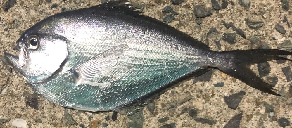 この魚の名前を教えてください! 薄っぺらくてしゃくれてます! 漁港で釣れました!