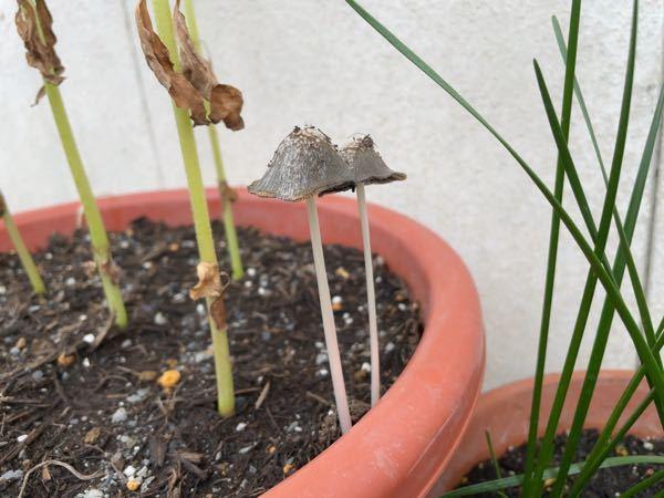 このキノコはなんていう名前のキノコですか? ヒマワリを植えたプランターから出てきました。 害はあるのでしょうか?