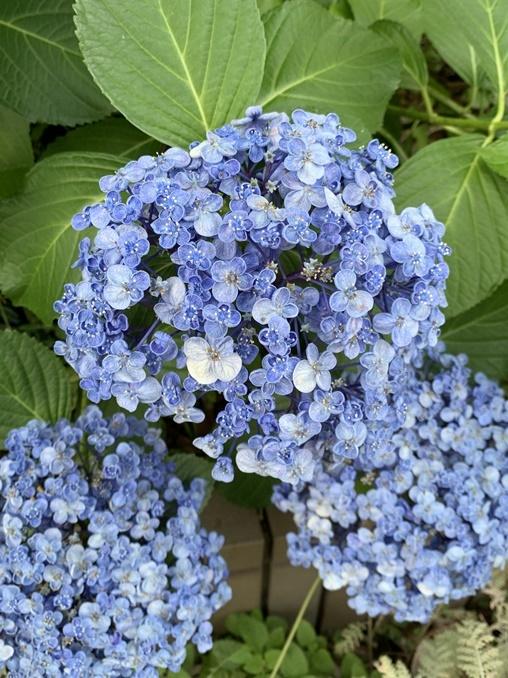 この変わった紫陽花のような花の名前を教えて下さい。