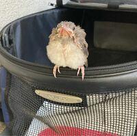 巣立ち雛? 何の鳥の雛でしょうか?