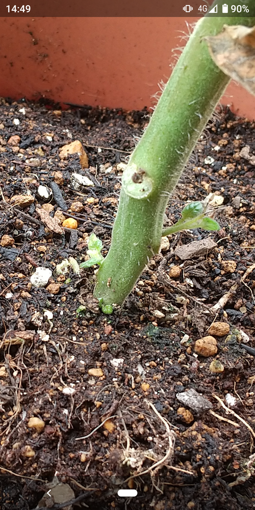 枯れたミニトマトについて。 すべての葉が枯れてしまったミニトマトですが、根元のあたりから、新芽らしきものが見えますが、これはまだ生きていますか。復活する可能性はありますか。