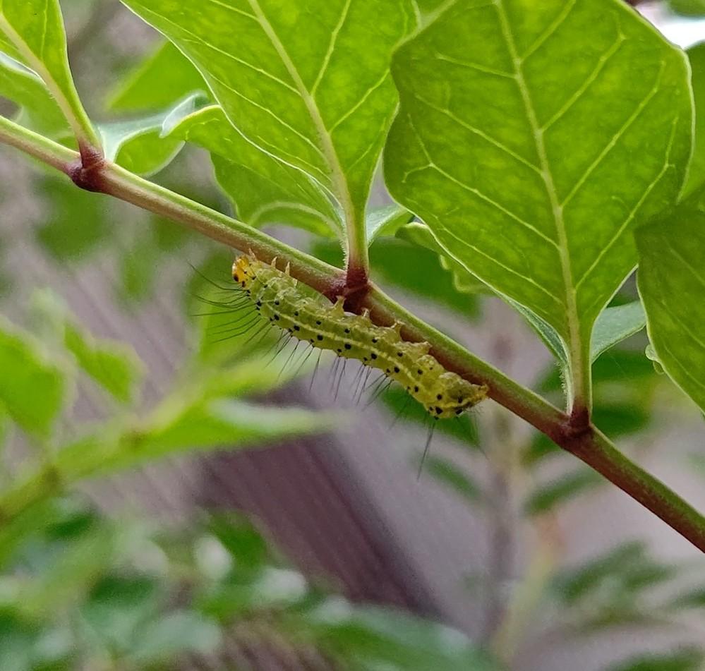 うちのシマトネリコに幼虫がいました。 これはシマケンモンの幼虫でしょうか?