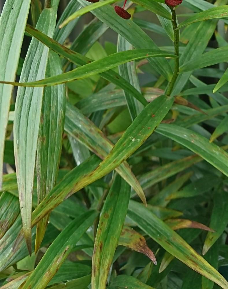モザイク病でしょうか? 5月半ば頃からユリの葉が茶色く傷んできたのですが、これはモザイク病でしょうか?