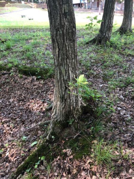 この木はなんという木ですか? 葉っぱを見て調べた結果自分ではナラだと思うのですがどうでしょうか?