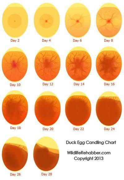 コザクラインコの孵化についてお尋ねします。 5/19に交尾を確認してから、ずっと巣箱に篭っていました。 21日に卵を産んだとして、14日後くらいに検卵しました。 4個有精卵でした。 そして本日...