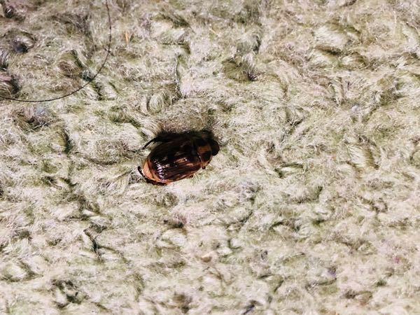 この写真の虫って何か分かりますか? 体長1cm程で、私の足に付いてました。