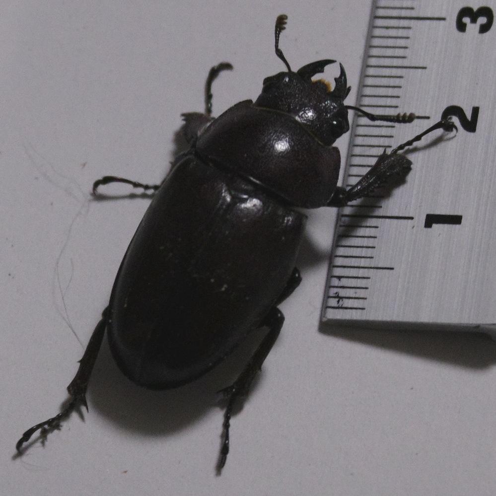 この昆虫は何でしょうか? 多分クワガタのメスだと思うのですが、なんていうクワガタか分かりません。最近はほぼ毎晩、息子と一緒に家の外の道路沿いをホタルを観ながら散歩して樹液が出ている木を確認しています。今まで見つけたクワガタは全てコクワガタだったのですが、今回初めてメスとしては大きめのクワガタを見つけました。 「天然のコクワガタにしては大きいな。。何だろうこのクワガタは?」と息子と話し合って図鑑をチェックしたのですが良く分かりません。兵庫県神戸市の裏六甲地区です。コクワ・ミヤマ・ノコギリ・ヒラタ、と色々生息しているらしいのですが私はコクワガタしか見かけたことがありません。 色はカメラ写真ではうまく写すことが出来ませんでしたが、カブトムシに似た色です。黒が基調ですが少し紅色が入っているような感じで艶があります。