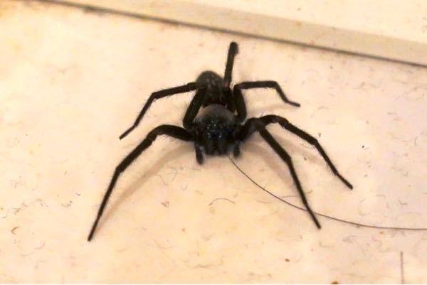 【画像閲覧注意】虫・蜘蛛に詳しい方! 今日脱衣場に見慣れない蜘蛛が出ました。 いつも見るハエトリグモより大きくて、足が6本…??形もなんか違う気がします。 見慣れない蜘蛛なので不安になり知恵袋に投稿します。 画像からなんという蜘蛛かわかる方、是非教えてください!よろしくお願いします。 (怖くて近づけず、ホコリや髪など写っていてお目汚しすみません…)