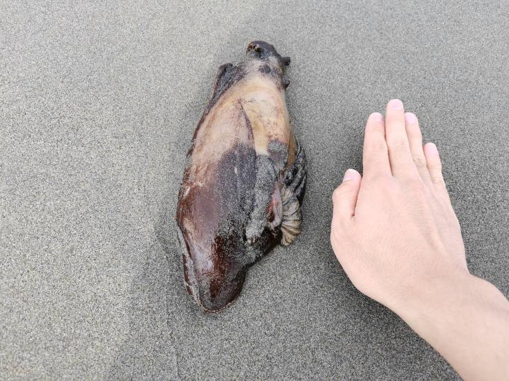 先日とある砂浜に出向いたところ、このような茶色くてブヨブヨした肉塊を見つけたのですが、これは一体なんなんでしょうか? 因みに生体反応はありませんでしたが、最大で成人男性の手のひらサイズ以上はありました。