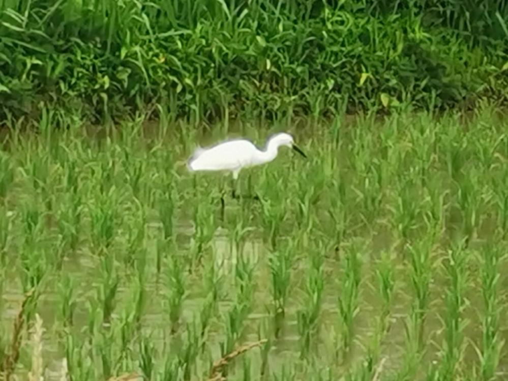 近くの田んぼにいます。ズームで撮ったので画像が荒くてすみません。何という鳥でしょうか?鷺ですか?