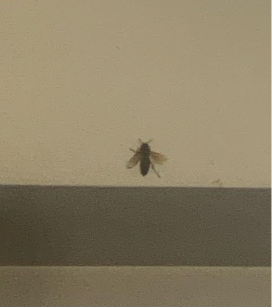 この虫の名前分かりますか?? サイズはかなり大きめで、500円玉ぐらいあったと思います。飛ぶ時の羽の音が結構します。最初に見た時は蜂かと思いました。 服に付いていて部屋まで入ってきました( ; ; )
