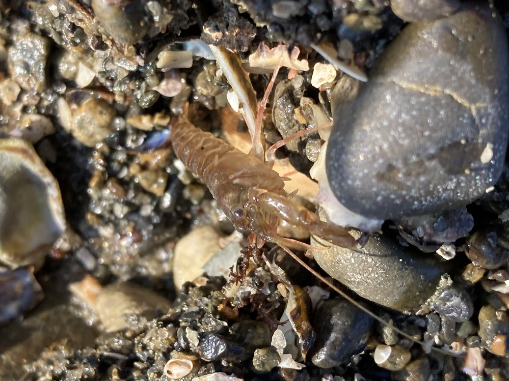 海で見つけた生物ですが、こちらは何のエビでしょうか? 石や砂がある浜辺で見つけました。 水辺から2、3メーター離れているところで石をひっくり返したらいました。 体調は4センチほどです。