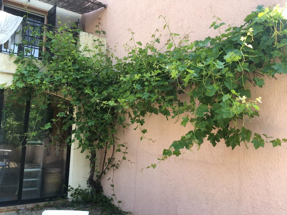 葡萄の手入れについて教えて下さい。購入した家の庭に葡萄の木があり、もさもさになっています。いつ植えられたか、品種なども不明です。 剪定、肥料など初歩的な手入れ方法などが知りたいです。ちなみに居住地は南フランスで、山間の避暑地のようなところです。