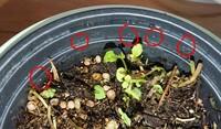 ※虫写真あり!! 観葉植物の土にわく小さい白い虫について質問です。 日の当たる室内に置いているミントの鉢の土に1ミリもないくらい小さい白い虫がわいています。(赤丸の中) この虫は植物に害をなしますか?また鉢から出て人に害を与えますか? そして数を減らすor殺虫する方法はあるでしょうか。殺虫の場合、葉をミントティーに使いたい為人体に影響が出ない方法を教えていただきたいです。
