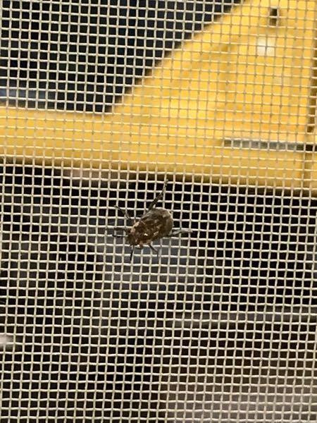 至急お願いします! この虫なんでしょう?浴室の網戸に2匹います。