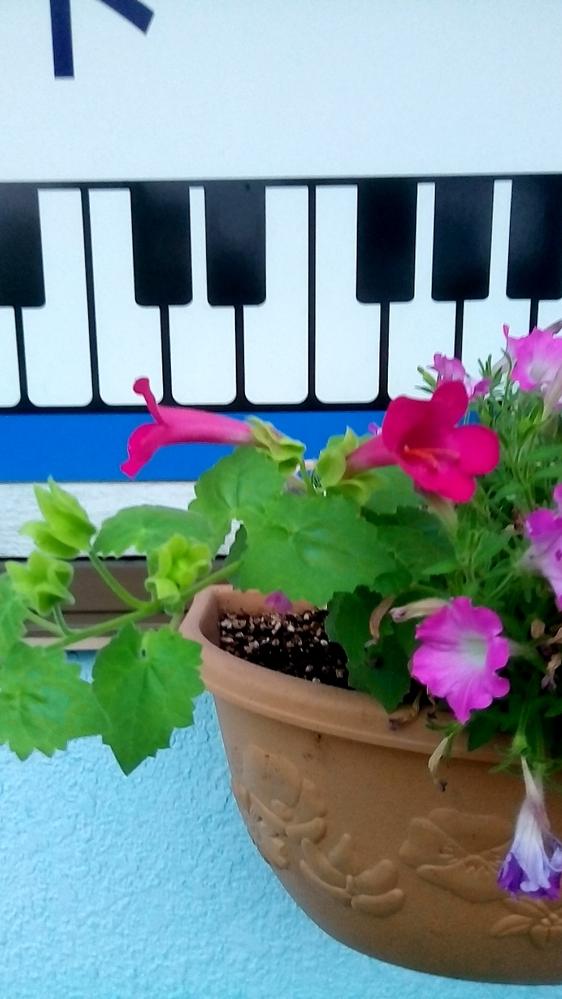 このノウゼンカズラっぽい花の名前を教えて下さい。ペチュニアじゃない方です。