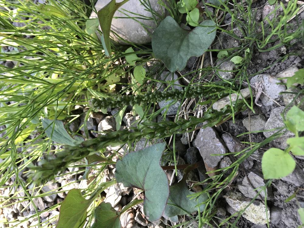 この植物は何ですか?色々調べても出て来ませんでした。素人です、寄生植物まで初めて調べましたが分かりませんでした…。 庭から出た小石を積んである所に生えています。ドクダミやスギナなどが写り込んでいますが、知りたいのは真ん中の2本の植物です。場所は北海道内陸、午後からは建物の影になる場所です。小石の山の下は、石混じりですが黒くてわりと保水性のある土です。 写真が横向きになってしまいます。すみません。