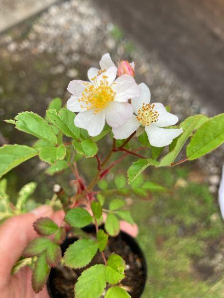 家にありました程木ですが、 赤の木瓜だと思い 挿木をして見ると白い花が咲きました。 赤の木瓜でも 小さな時は白い花が咲く事があるのでしょうか? 間違って挿木したのかなとも思いましたが、 枝には棘が有りますし、蔓バラなどの様な容姿でもあります。 もしかすると 庭に白い木瓜があったのかもしれませんが、 木瓜なのかが知りたいです。 よろしくお願いします。