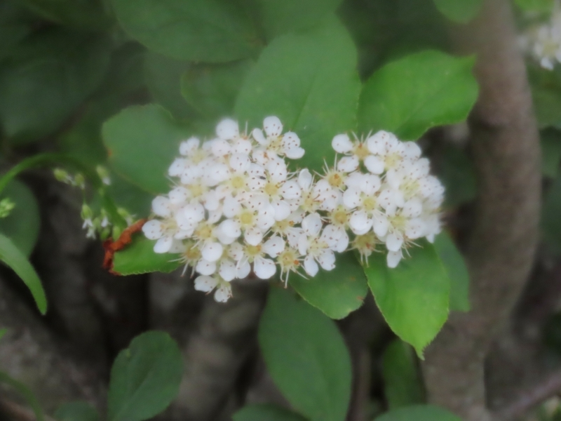 カマツカの花のような気がするのですが実際今まで見たことがないので確信が持てません。あってますでしょうか? 違うとしたらナンと言う花、植物でしょうか?