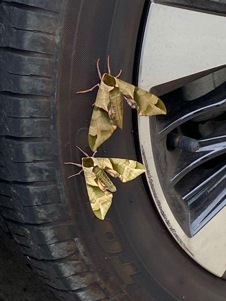 これはなんという種類の蛾でしょうか 東京都下の住宅地で目撃しました