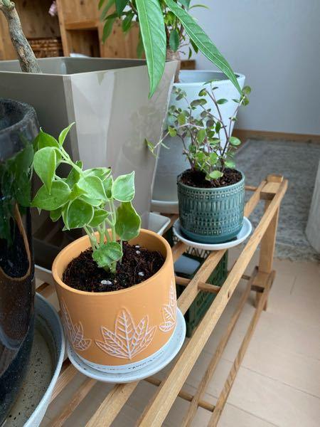 この手前の観葉植物の名前を教えてください! ペペロニア、、?ですか、、? 正解をお願いします! 観葉植物 / 植物 / 葉 / 自然 / グリーン / 花