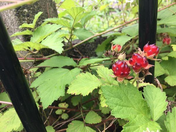 この植物は何でしょうか?食べられますか? へびいちごでも、ブラックベリーでもないし、実の粒々が尖っていて、色はザクロみたいで綺麗です。 花屋さんでは見たことがないし、その辺の雑草としては妙に目立ってて気になります。