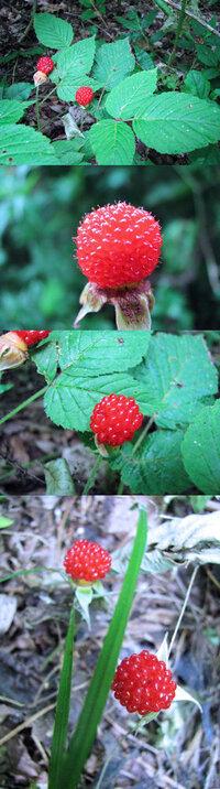 6月の標高300m~400mくらいの低山にあった植物です。 地面近くの幹1本から 実が一つ くらいの感じで実がなっていました。 食べられるだろう。と、1つ口に入れたら 甘かったです。 何という名前の植物でしょうか??