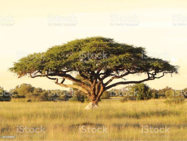 アフリカサバンナの草原のジオラマを制作した いと考えています。 リアルでカッコいいアカシアの木の模型をネッ トで探していますがなかなかありません。 購入出来る場所、サイトをご存知の方、教えて くだ