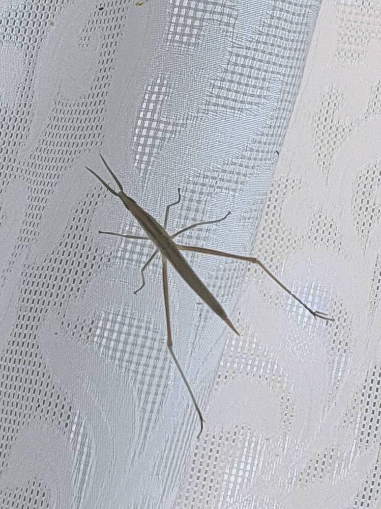 これはショウリョウバッタの幼虫でしょうか?触覚の付き方がなんか違うような。。