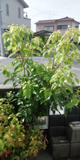 この植物の名前を教えて下さい。 庭に生えてきて、ぐんぐんと伸びています。 子供が木ノ実を植えたこともあったので それかもしれません。 茎が緑色をしています。 宜しくお願いいたします。