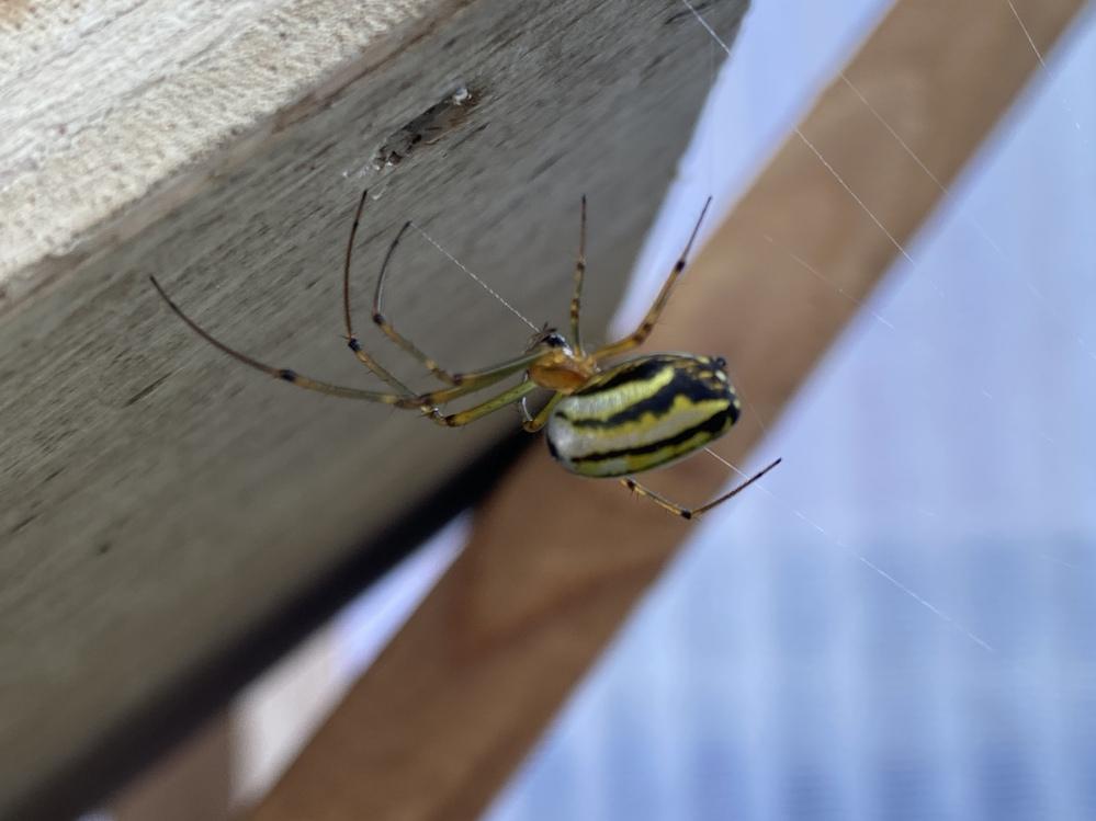 こんな蜘蛛始めてみました! なんかきれい…なんていう名前ですか?