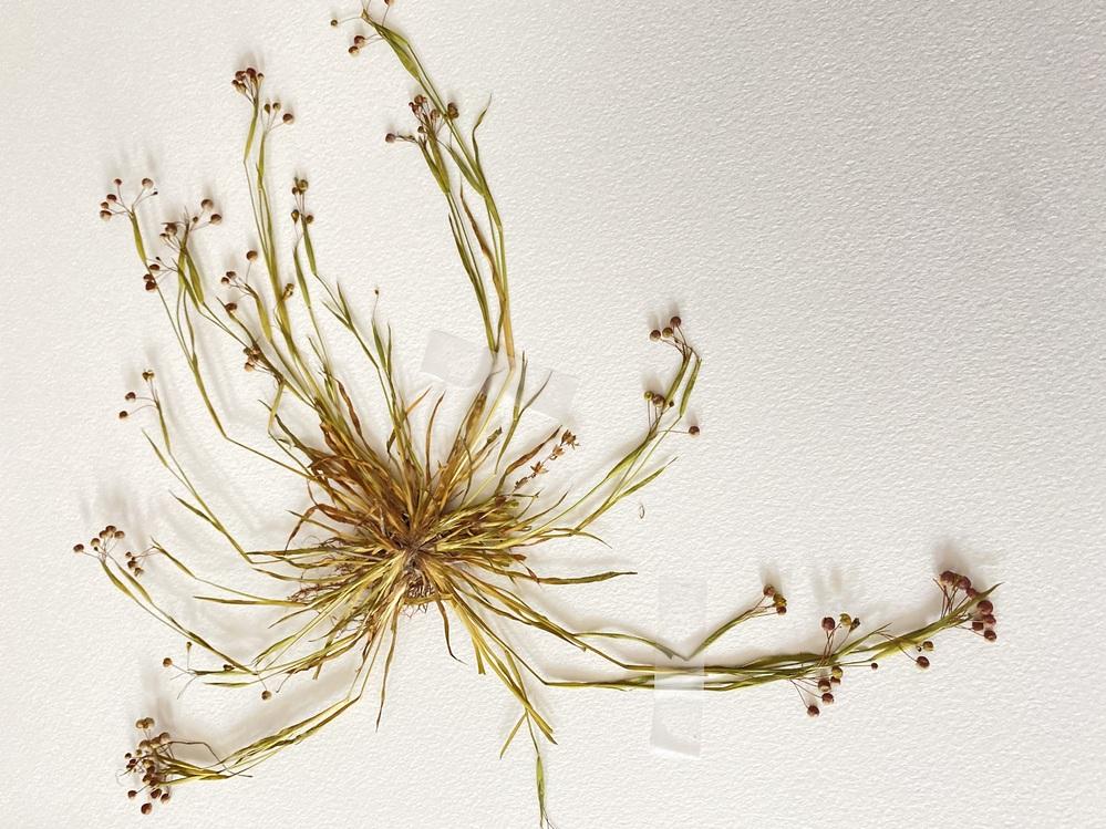 この雑草の名前を教えて頂きたいです。 5月頃に採取しました。