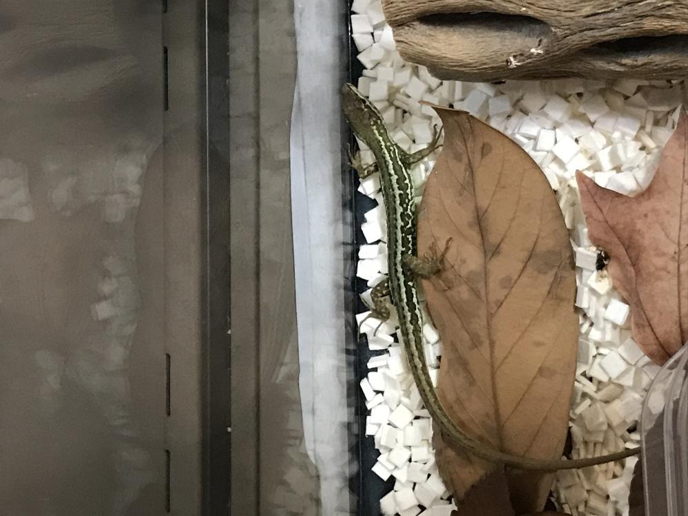 先日、庭で緑色のカナヘビを見つけました。 何かとの掛け合わせでしょうか? それとも、この様な体色のカナヘビも稀にいるのでしょうか? 普通のカナヘビも飼育しているので、色味の違いは有るとは思いますが、こんな色は初めて見ます。 ご存知の方、どうぞよろしくお願いします。