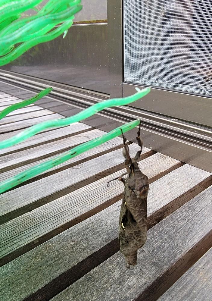 この虫の名前を教えていただけますでしょうか。 雨戸の上の方にいました。最初は落ち葉と思って、ホウキで取り除こうとしてもなかなか取り除けませんでした。今度はホウキにしがみついているようにみえました。