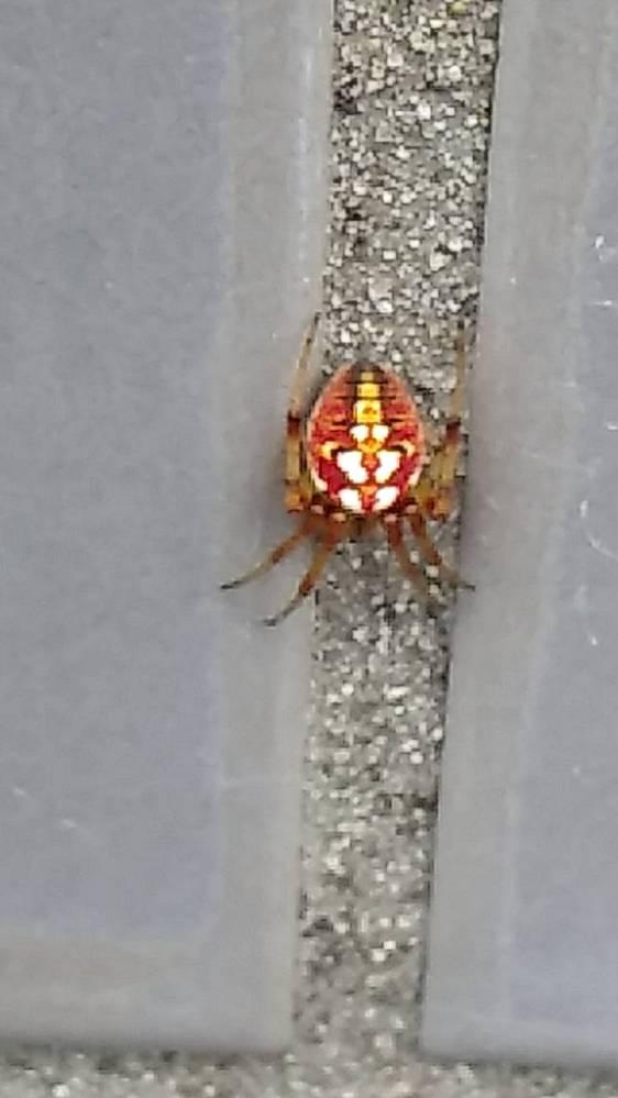 この蜘蛛の名前を教えてください