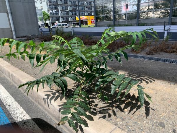 高速道路の高架下の雨が全く降らない場所でこの植物が生えています。多い箇所では群生しています。これって何でしょうか?お分かりになる方いらっしゃいますでしょうか? よろしくお願い致します。