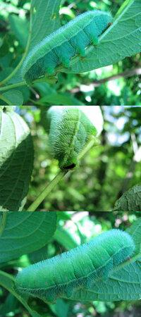 見た目がいささか気持ち悪いですが、 6月の低山にいた何か?の幼虫です。5cmくらいありました。 僕のいるところでは結構な大物です。 蛾か蝶の幼虫っぽいのですが、何の幼虫でしょうか??
