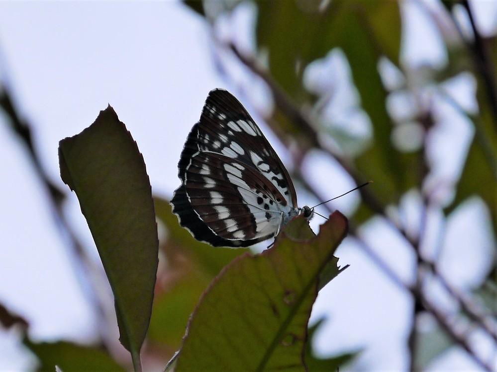 この蝶の名前を教えてください。