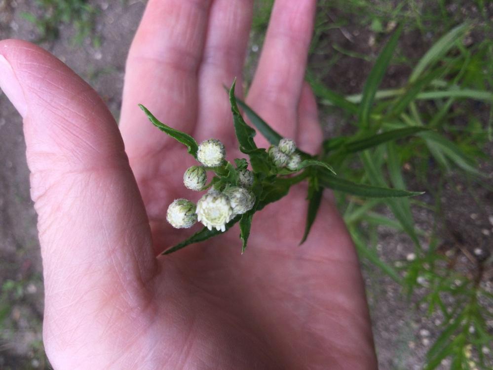 この花の名前は?花畑の一部分に、この花が20本程出てきました。 茎の長さは30センチ弱ぐらいのもあれば、15センチ程で蕾を持っている物もあります。、葉っぱも細長く5センチ程あります。まだ花は咲ききっておらず、どんな花か分かりません。もし雑草なら抜こうと思いますので、花の名前を教えて下さい。