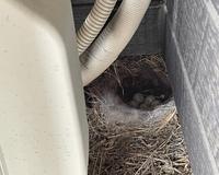 ベランダの室外機の隅に鳥の巣が作られていて、気付いた時には卵が生まれていました。 よく鳥の巣の材料を口にくわえてベランダ周辺をウロウロしてる鳥だったので、巣が作られていないか、上の四隅は毎日確認していたのですが、下の角はノーマークでした。。。 主人はこのまま成長を見守りたいと言っています。子供達にも見せたいようです。 私としては、洗濯物が鳥のフンで汚れないか、ヒナが産まれたら鳴き声に悩ま...