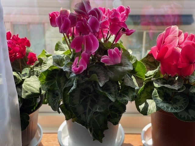シクラメンは冬の花と思っていましたが、我が家のシクラメンの 今日の様子です。冬が終わり、いったん葉だけになりましたが 午前と午後置き場所を移動して、一日中陽が当たるようにしていたら、 花が一本二本と咲き始めこうなりました。 ネットなどで見るとそういう花もあるけど、 花が勘違いしているかもしれないので、花を抜いて株を休めたほうが いいともありますが、なんだか惜しい気もします。 みなさんのおうちのシクラメンは今どんな状態ですか?