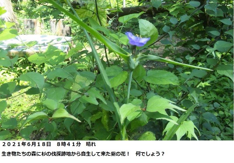 この花の名前を教えてください。 場所 千葉県 杉の伐採跡地、開けた処。 月日 2021年6月18日