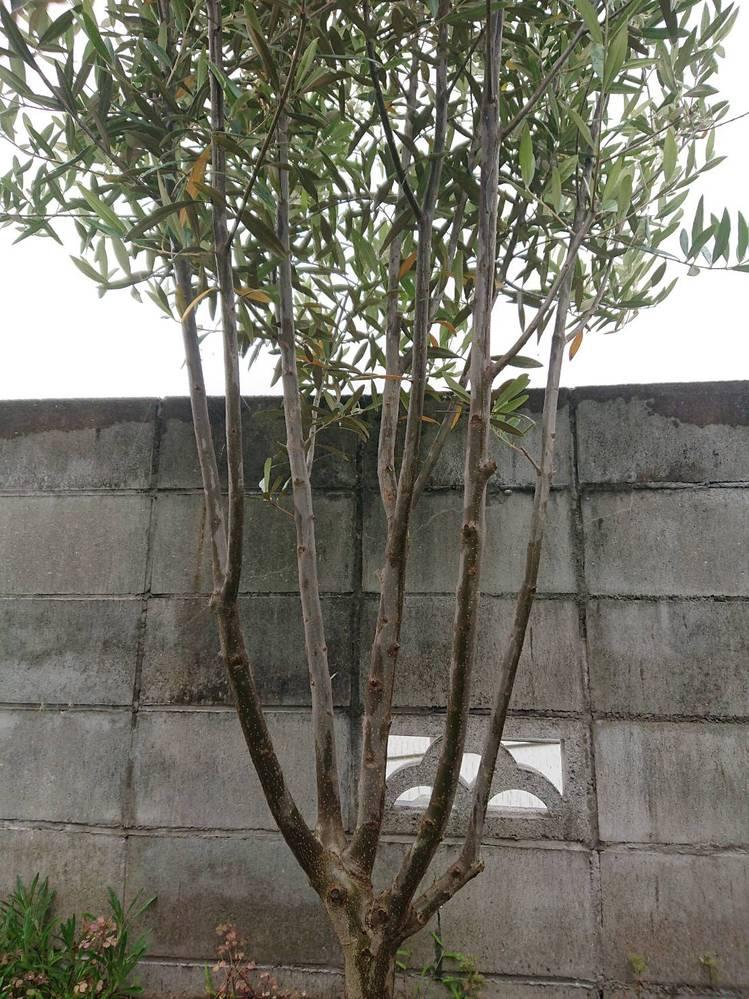 オリーブの選定について質問です。 我が家のオリーブですが、下から50cm位から枝分かれしてすべての枝が上方向に伸びています。樹形を整える為選定したいのですが、何処をどう切れば将来的に美しくなるのか分かりません。ご教授くださいませ。