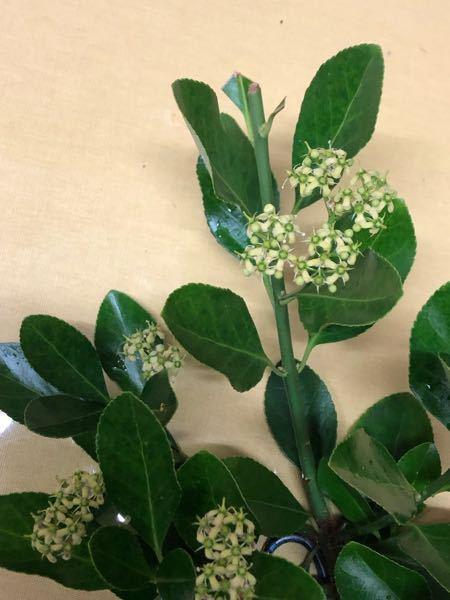 勝手に生えた木です。花が咲いてます。高枝切りを使い採取しました。なんの木か教えてくださいませ。